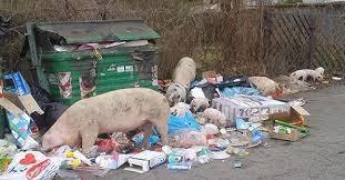Emergenza rifiuti: convocati vertici Ama. I maiali tra i cassonetti fanno il giro della Rete