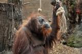 Al Bioparco è nata la nuova area degli oranghi