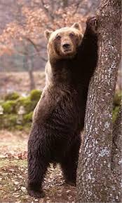 Jenne, fotocellule per individuare l'orso nel parco protetto dei monti Simbruini