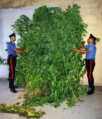 Testaccio, coltiva marijuana indoor: arrestato un 25enne