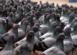 Grottaferrata, vietato sfamare i piccioni: la multa è di 150 euro