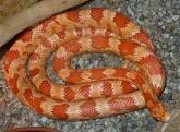 serpente americano