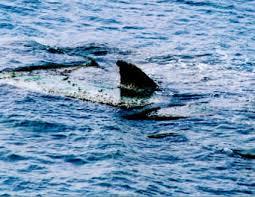 Ostia, avvistato squalo in acqua: terrorizzati i bagnanti