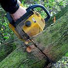 Pini secolari, i cittadini bloccano il taglio di di sette alberi in via Ronciglione
