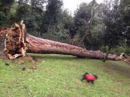 Maltempo, paura a Villa Ada, crolla un pino di 30 metri. Allerta per 36 ore, possibili nevicate