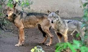 Bioparco, arrivano 4 lupi europei dallo zoo olandese di Dierenrijk