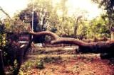 Maltempo, cedro crolla nei pressi del Colosseo: nessun ferito