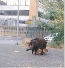 Avvistamenti di cinghiali, Coldiretti: