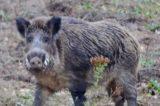 Cinghiali a Roma, uccisa mamma e sei cuccioli. Oipa: «Regione Lazio e Roma Capitale hanno preferito la soluzione più crudele»