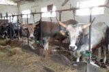 Porte aperte in fattoria alla scoperta di latte, mozzarelle e formaggi