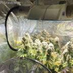 GIANICOLENSE - Avevano in casa una serra di marijuana: tre arresti