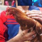 PRATI - Una gallina gira per strada, salvata da due giovani