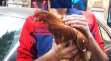 PRATI – Una gallina gira per strada, salvata da due giovani