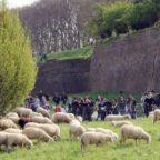 """Raggi """"affitta"""" le pecore della Coldiretti. L'idea M5S ora è realtà"""
