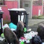 TRASTEVERE - Invasione dei rifiuti. Topi e cinghiali vicino ai cassonetti