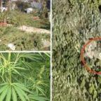 Scoperta piantagione di marijuana sul Tevere: condannato contadino-spacciatore