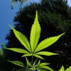Pro Vita & Famiglia: «Emendamento su cannabis light