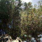 """Pini di Roma, 50mila alberi a rischio: """"Così perdiamo un patrimonio inestimabile"""