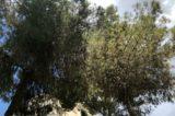 """Pini di Roma, 50mila alberi a rischio: """"Così perdiamo un patrimonio inestimabile"""""""